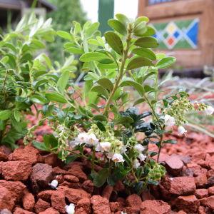 Blommande Lingonplanta 'Otson karkki' planterad i bädd av tegelkross