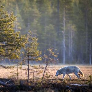 En varg vid ett träsk i soluppgången.