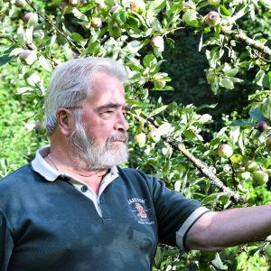 En äldre man håller i ett äppel i ett äppelträd.
