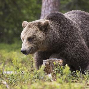 Karhu poikasensa kanssa.