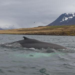 Ryhävalas saalistaa Islannissa.