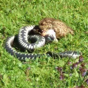 Ingeborg fotograferade denna kamp mellan en padda och orm. Är det en huggorm eller snok?