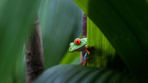 En illgrön groda med röda ögon fotad på ett blad i regnskogen.