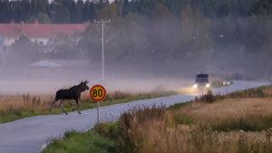 En älg springer över vägen framför en bil.