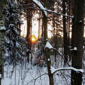 snöig skog på vintern. solen mellan träden.