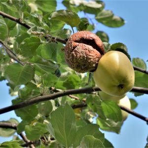 Äpplen angripna av monilia högt uppe i ett träd