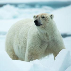 Jääkarhu Huippuvuorilla.