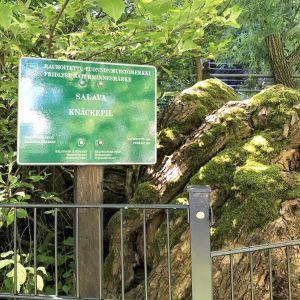 Inhägnat gammalt mossigt träd.