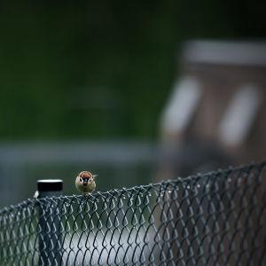 Pikkulintu istuu Riihimäen vankilan aidan päällä.