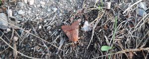 Två gulröda backflyn, fjärilar med gulrödbruna vingar, sitter på en grusgång.
