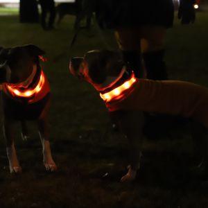 Koirien valopannat hehkuvat pimeässä illassa