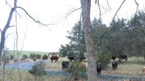 Kor som betar i hagen i Petersburg i West Virgnia.