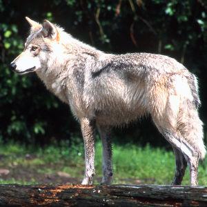 En varg står på en trästock som ligger på marken.