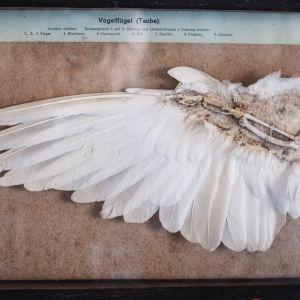 Tvärsnitt av fågelvinge med vita fjädrar.
