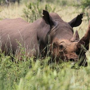 Noshörning i Pilanesberg National Park.
