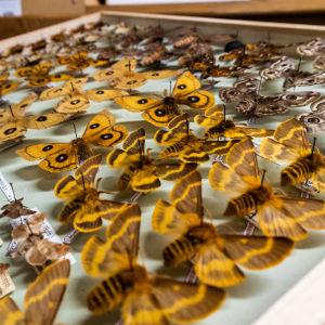 Fjärilssamling i låda.