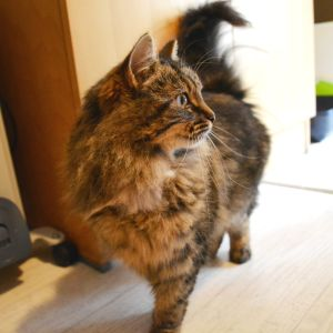 Svart-bruna katten Mini i Lovisa katthus.