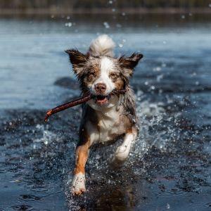 Australianpaimenkoira Vida rakastaa leikkiä keppien kanssa myös vedessä, Siikajärvellä Vihtavuoressa.