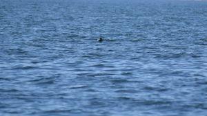 En säl kikar upp ur vattnet.