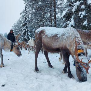 Poroja Kujalan porotilalla Kuusamossa. Taustalla poroisäntä Juha Kujala.