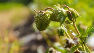 Jordgubbar som mognar på åker