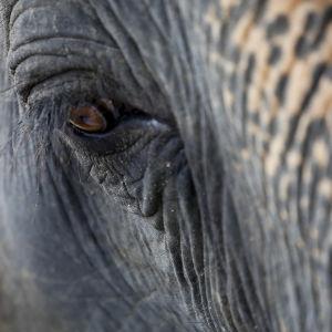 Lähikuva norsun silmästä Myanmarissa.