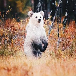 Vit björn i Kuusamo