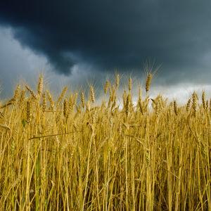 Sädesfält under orolig himmel.