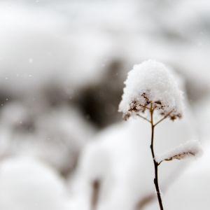 blomma täckt med snö