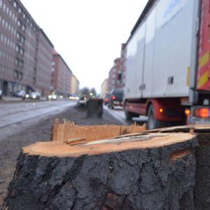 Lindar fälls på Mechelingatan i Helsingfors.