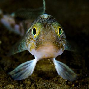 En fisk med gula ögon.