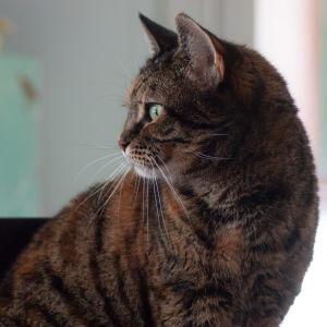En katt tittar ut genom fönstret.