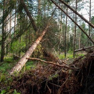 Omkullblåsta tallar i skogen i Hammarland, Åland, 6 månader efter stormen Alfrida.