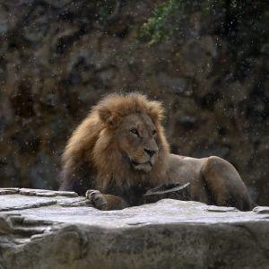 Lejon i djurpark.