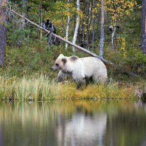 Valkoinen karhu järven rannalla.