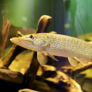 hauki akvaariotalo Maretariumissa
