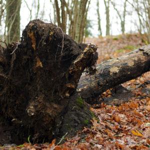 Ett omkullfallet träd ligger på marken i en skogsdunge.