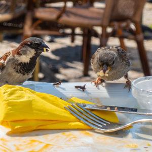 Varpuset syövät lautaselta ravintolan terassilla.