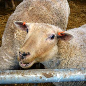 Ett får på Norrbro gård i Närpes.