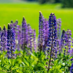 blomsterlupin i naturen