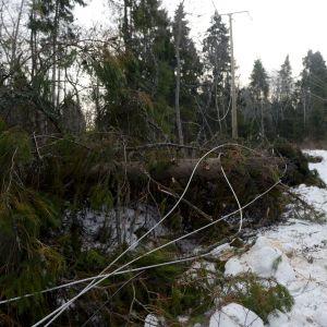 Träd som fallit över elledningar i Vasa den 2.1.2019.