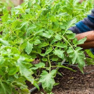 En mans armar och många tomatplantor.