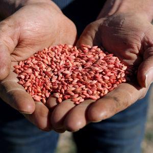 Händer fulla med korn från en åker i Australien
