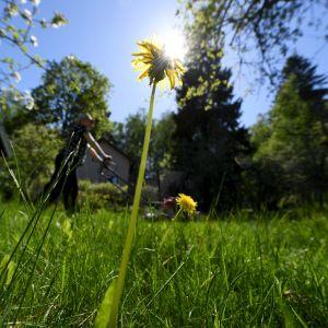 Person klipper gräset i ett soligt och varmt Helsingfors den 30 maj 2020.
