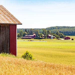 Maaseutumaisema, etualalla lato, taustalla pellon takana maatilan rakennuksia.