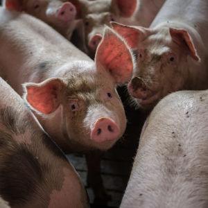 gris på polsk svinfarm 2013
