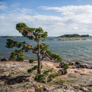 Strandklippa med utsikt över havet och kobbar. Sommar. Tallar.