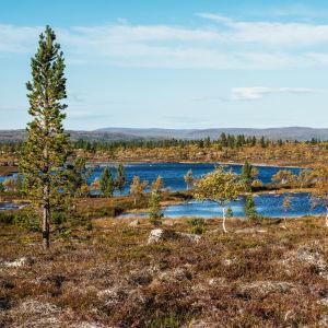Tunturimaisema kitukasvuisine puineen, mättäineen ja pienine järvineen.