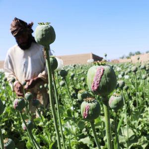 Afgaani viljelijät keräävät raakaa ooppiumia unikko kasvien kukinnoista.