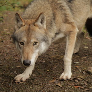 Vargarna kommer nära bebyggelse i sydvästra Finland.